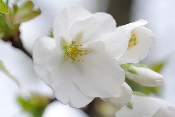 伊豆桜.JPG