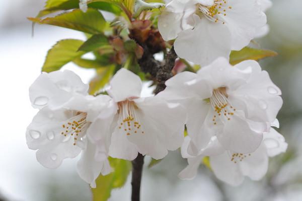 朝露桜.JPG