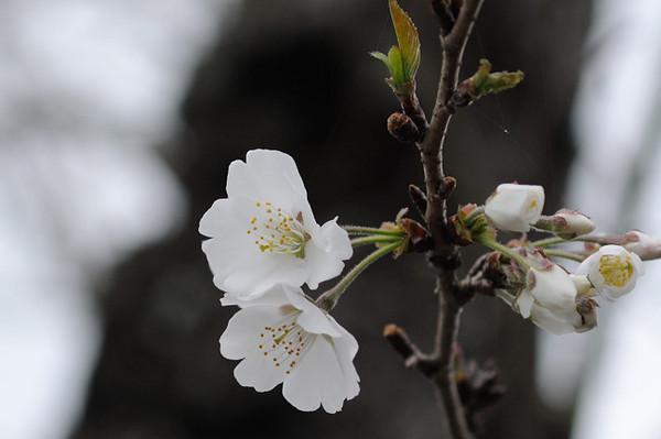 水玉桜.JPG